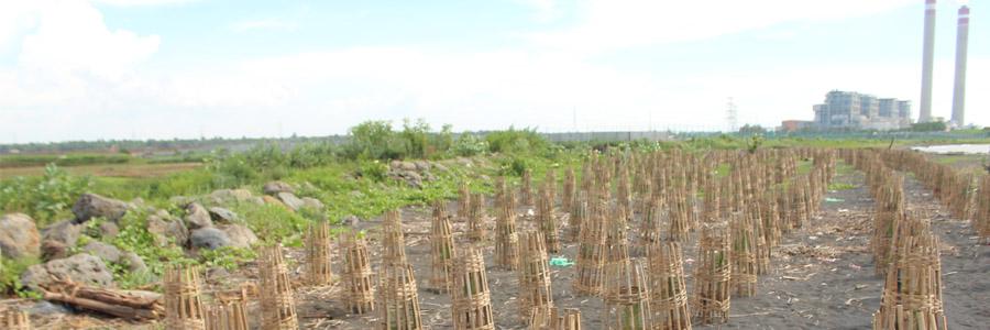 Kelulushidupan Program Tanam Mangrove di Bayuran Jepara Capai 90%